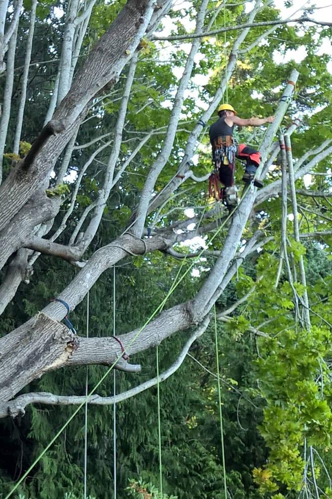 Wizard Tree Service: 7512 NE Bothell Way, Kenmore, WA