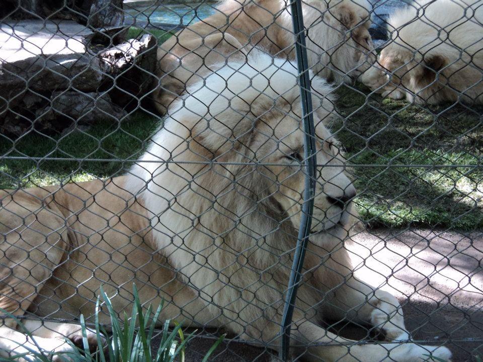 Lions Yelp
