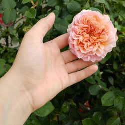 Photo Of Steinkopf Nursery Farmington Hills Mi United States Abraham Darby