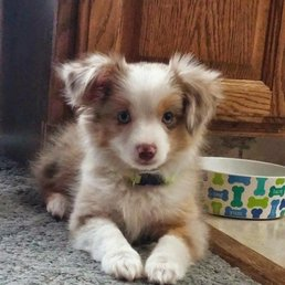 My Toy Aussie Request A Quote 12 Photos Pet Breeders 10021 S