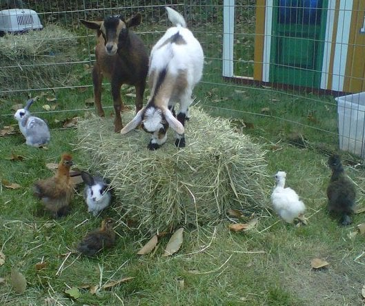 Animal Affair Traveling Petting Zoo - Festivals - Rehoboth ...