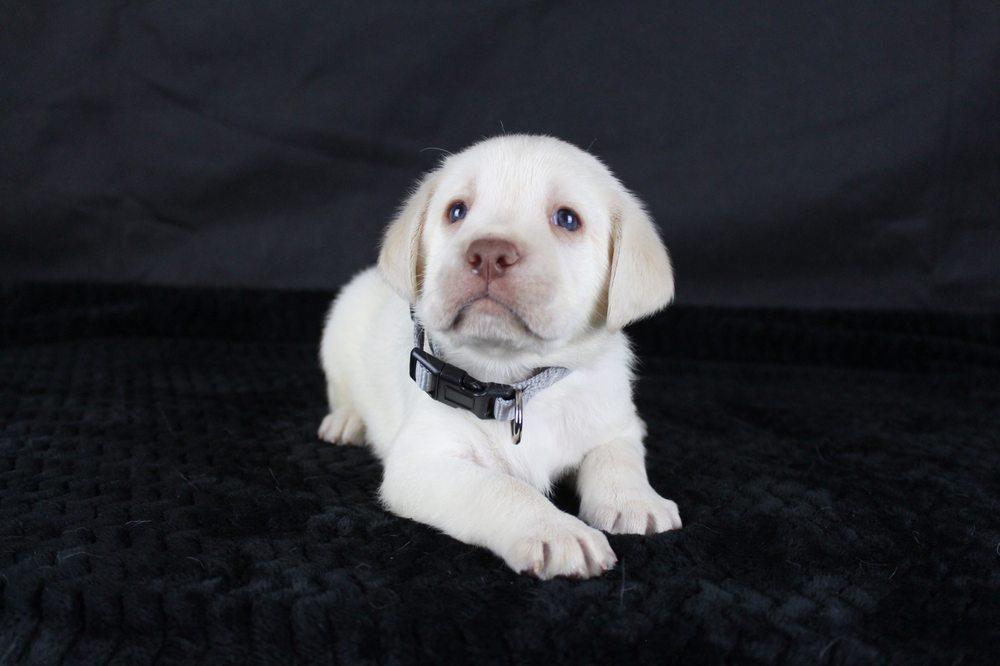 New Day Labradors: 15445 Stormy Ln, Glencoe, CA