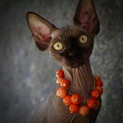 Sphynx Kittens in California - 65 Photos - Pet Breeders