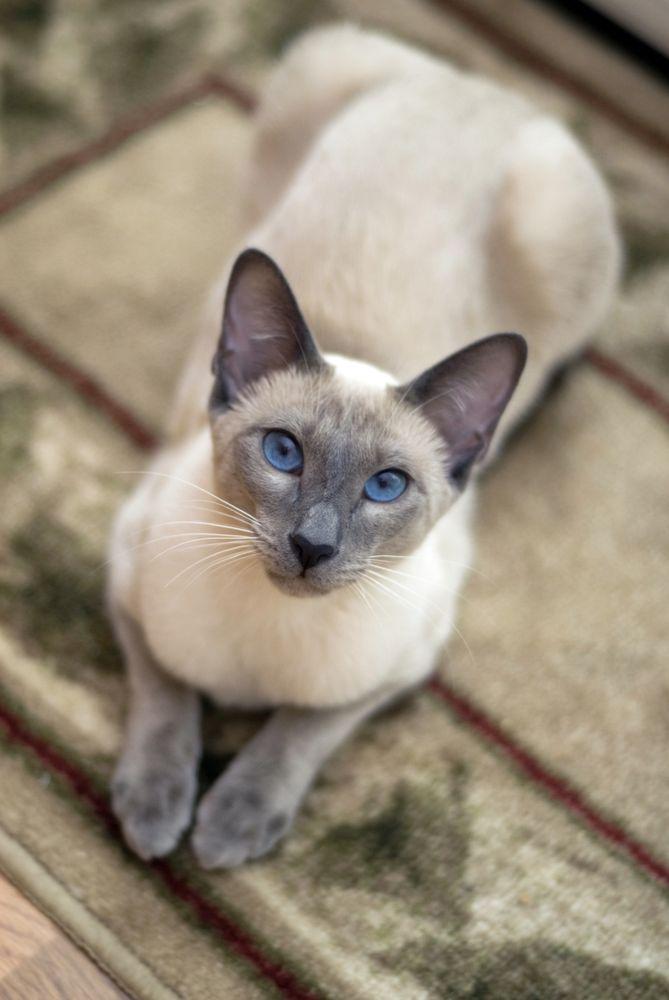 Blue Eyes Cattery: Saint Marys City, MD
