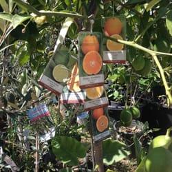 Photo Of Sunshine Nursery Rosemead Ca United States A Hybrid Tree That