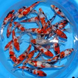 Genki koi 33 photos 30 reviews local fish stores for Koi fish dealers