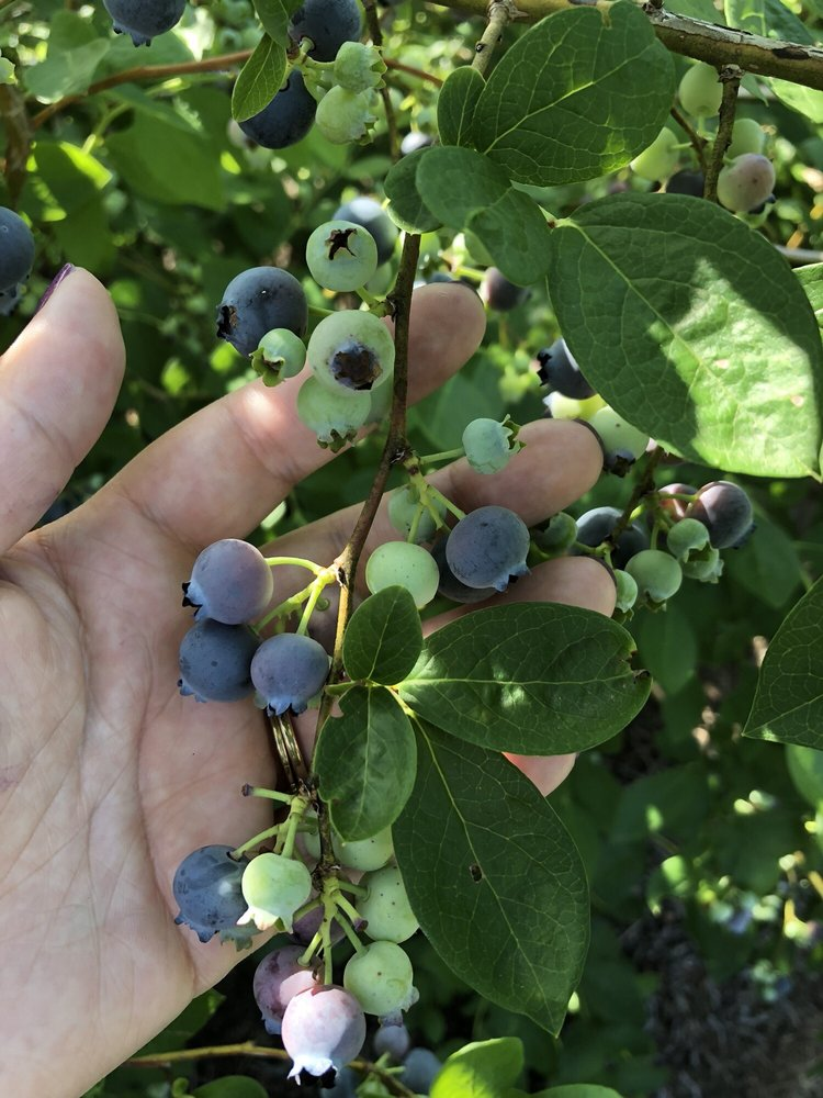 Bryant Blueberry Farm: 6900 Oak Park Rd, New Salisbury, IN