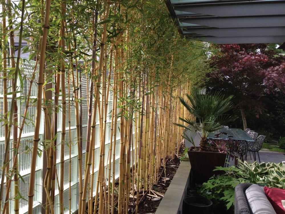 Golden Crookstem Bamboo Along A Glass Block Wall Screening