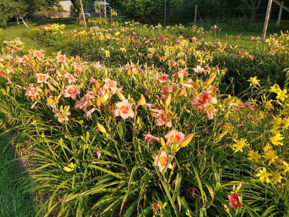 5 Acre Farm Daylilies: 1578 County Rd 300N, Tolono, IL