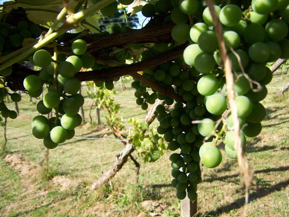 Wine Tree Vineyards: 772 Jesterville Rd, Vienna, WV