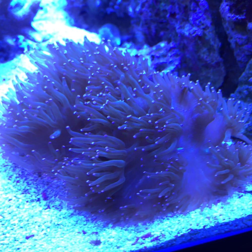 Elegance coral yelp for Aquarium elegance
