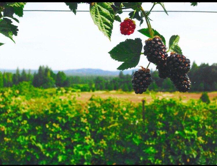 Patrick's Berry Farm: 4455 Pony Express Trl, Camino, CA