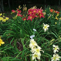 Photo Of Davis Boxwood Daylily Nursery Lowgap Nc United States Carmine