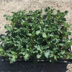 Photo Of Certified Plant Growers Norwalk Ca United States This Curly Leaf