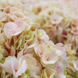 Los angeles flower district 754 photos 217 reviews florists photo of los angeles flower district los angeles ca united states hydrangea mightylinksfo