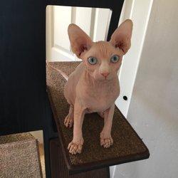 Dare2b-Bare Sphynx - 28 Photos - Pet Adoption - 10310