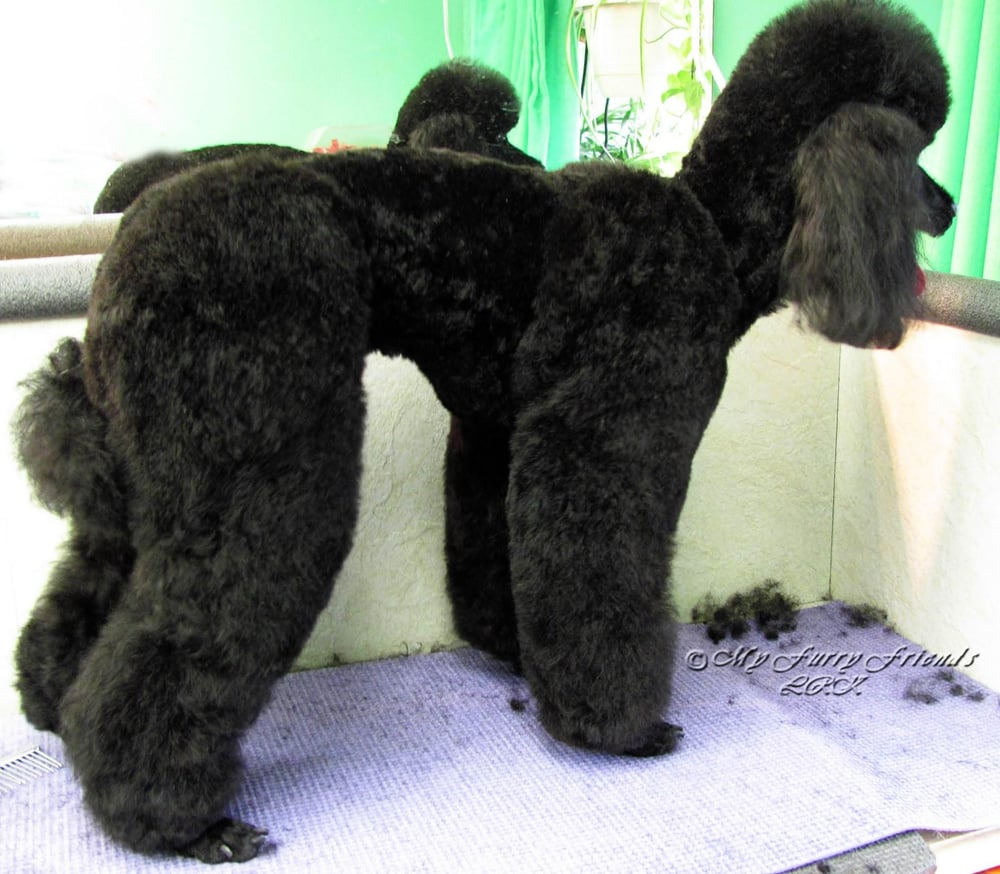 town and country poodle haircut a bark above the rest pet groomers 3716 nw 17th st 4994