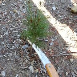 Patchen California Christmas Tree Farms - 37 Photos & 31 Reviews ...