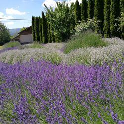 Snofalls Lavender - Farms - 4725 361st Ave SE, Fall City, WA