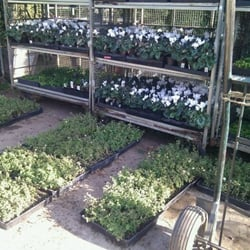 Photo Of F K Nursery Los Angeles Ca United States Cyclamen