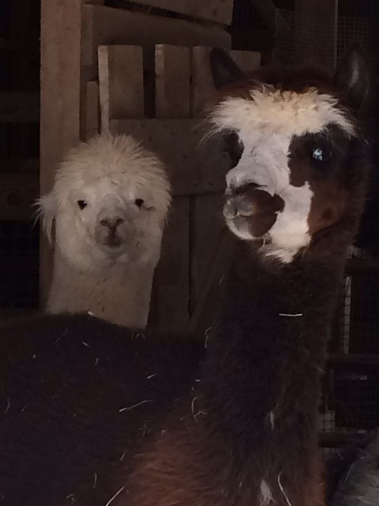Blackberry Hill Alpacas: 6330 Saks Rd, Anniston, AL