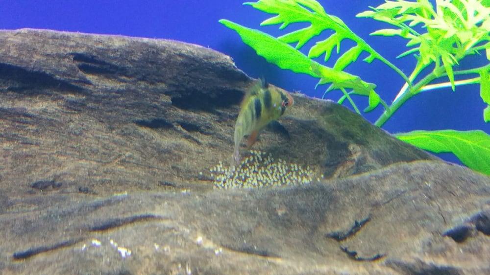 German blue ram defending his eggs yelp for Neighborhood fish farm