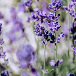 Yelp Reviews for Willowfield Lavender Farm - 21 Photos & 13 Reviews