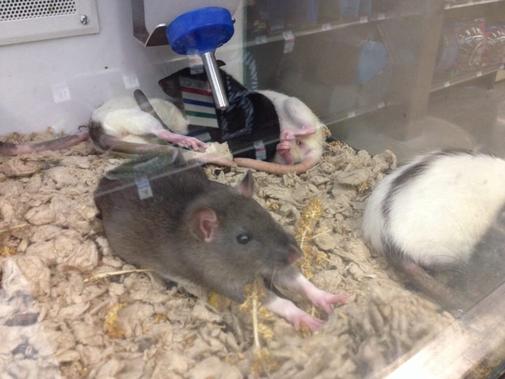 Petco Rats Don t have rats and