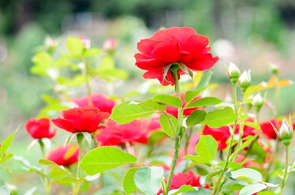 Photos for International Rose Test Garden - Yelp