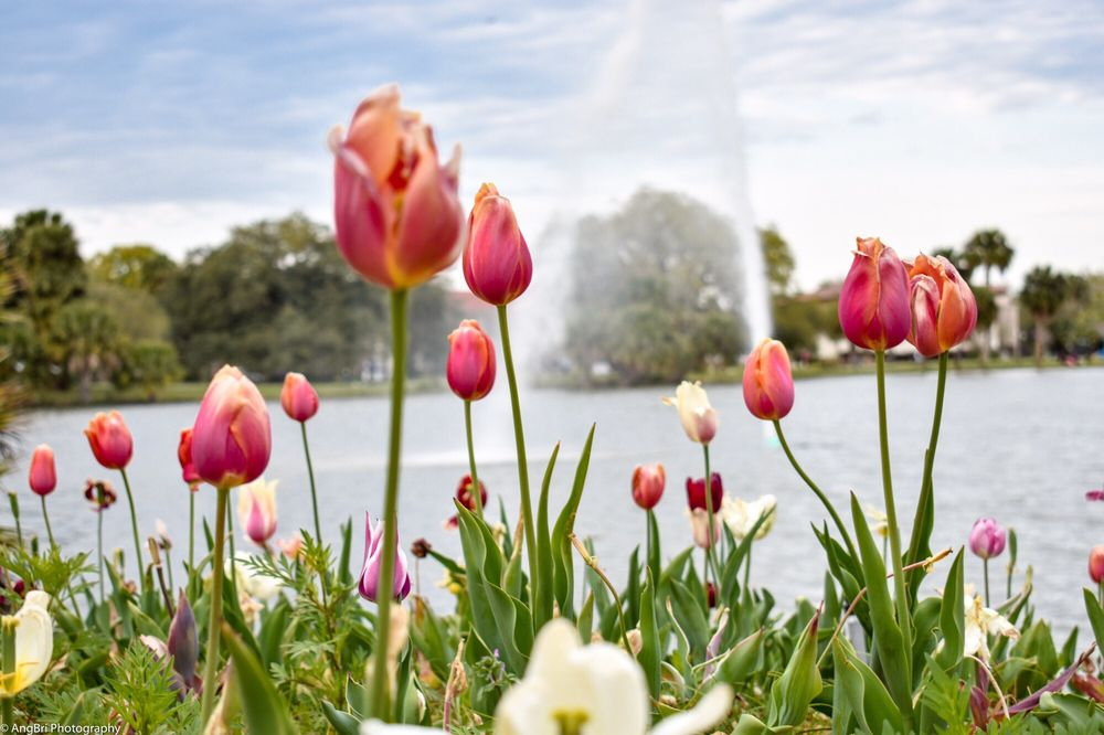 The Tulips at City Park