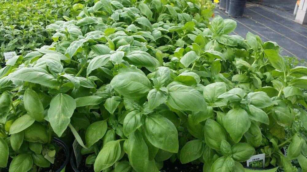 Large leaf basil yelp for Idea verde garden center