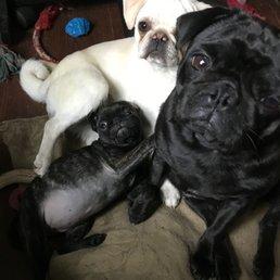House Of Briggs Pugs Request A Quote Pet Breeders El Paso Tx