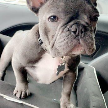 Austin French Bulldogs - 37 Photos - Pet Breeders