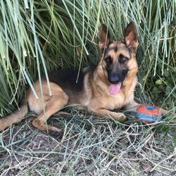 Desert Mountain German Shepherds - 2019 All You Need to Know