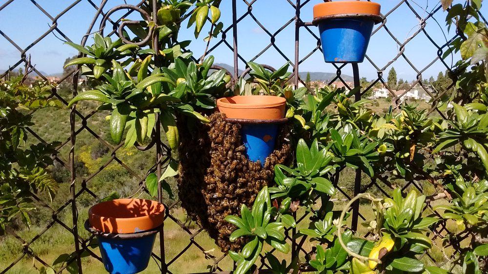 Honeybee Rescue: San Diego, CA