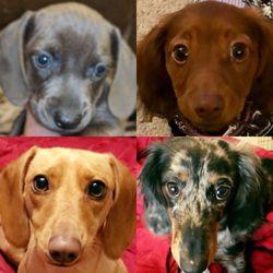 Montcorn Doxies Dachshund Puppy Breeder 70 Photos Pet Breeders