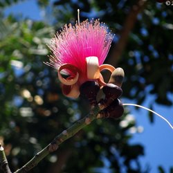 Exceptionnel Photo Of Ichimura Miami Japanese Garden   Miami, FL, United States.  Pseudobombax Ellipticum