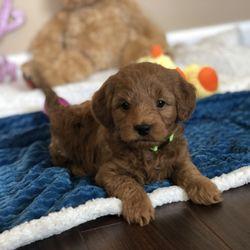 Mini Doodle Dogs - 50 Photos - Pet Breeders - Clinton, UT - Phone