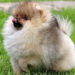 Teacup Pomeranian Puppies - 343 East 76 St, Upper East Side, New