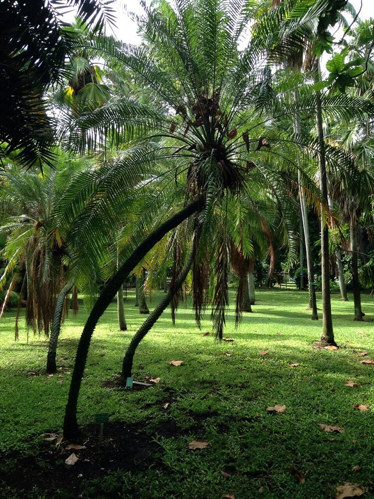 Miniature mini palm yelp for Foster botanical garden honolulu