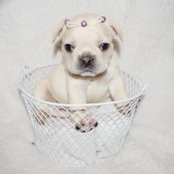 Xtra Sweet Frenchies - Pet Breeders - Mott Haven, Bronx, NY