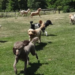 Yankee Doodles and Poodles - 22 Photos - Pet Breeders - 4951