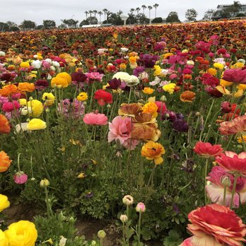 Superieur Photo Of The Flower Fields   Carlsbad, CA, United States
