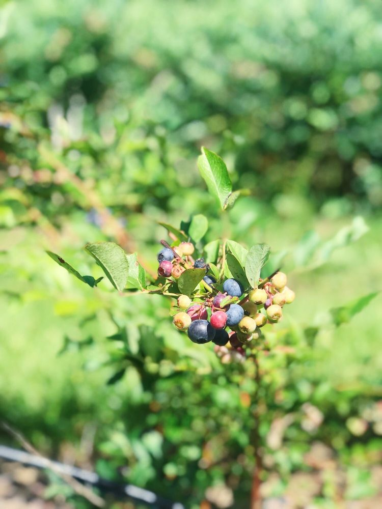 The Blueberry Farm: 982 N Sh 37, Quitman, TX