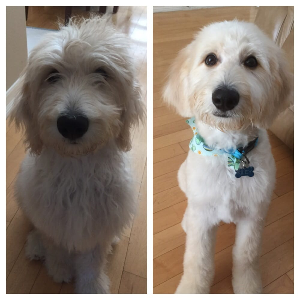 goldendoodle haircut before and after pictures before and after of my 5 mo goldendoodle yelp