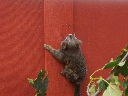 marmoset monkey for sale birmingham uk