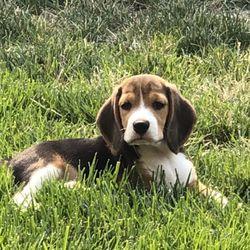 California Sunshine Beagles Pet Breeders San Bernardino Ca