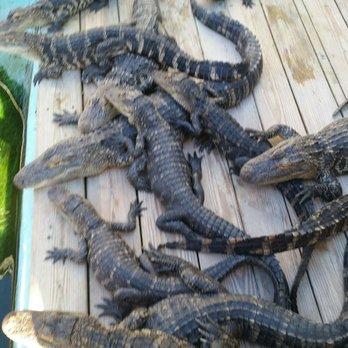 Photo Of Alligator Adventure North Myrtle Beach Sc United States Alligator Siesta