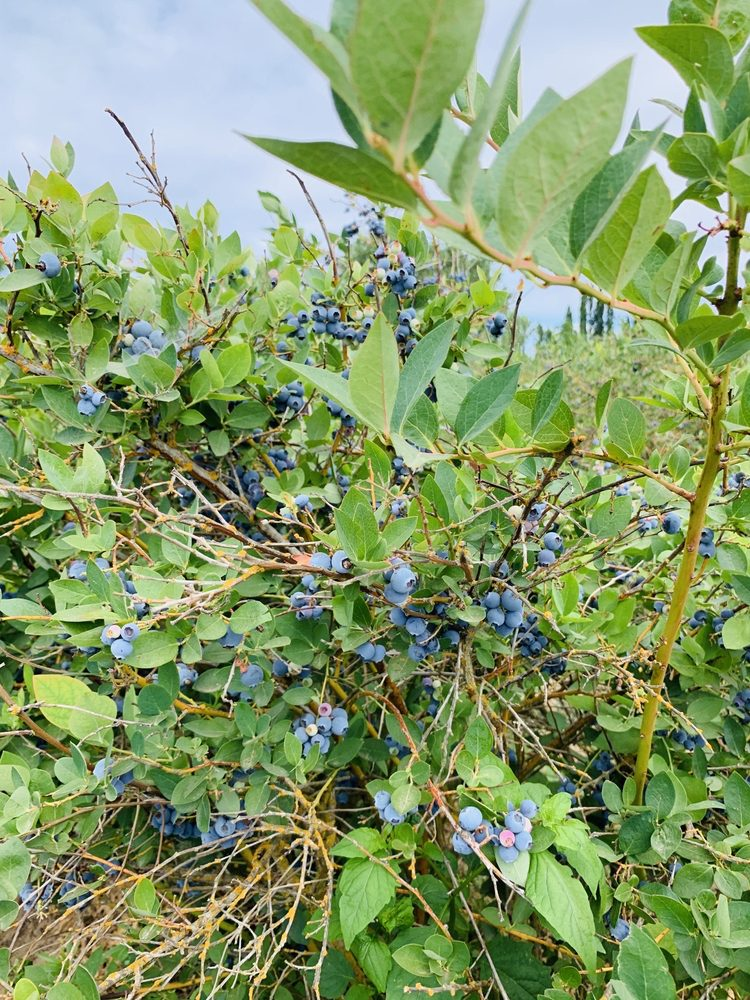 Blueberry Bluff Blueberries: 684 S Missouri Ave, Waterford, CA