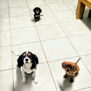 Photo of Cavaliers By Val - Cape Coral, FL, United States. Casey, Rouge, and Georgiana
